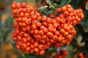 ripe rowanberry close up