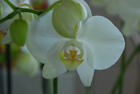 houseplant white orchid flower