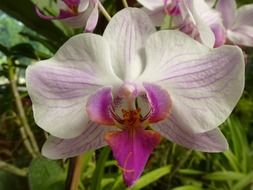 elegant orchid in nature of a sri lanka