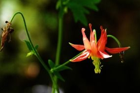 red columbine on a stalk close up