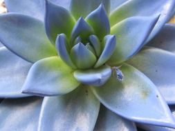 beautiful echeveria closeup