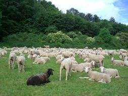 flock of sheep resting on the green grass