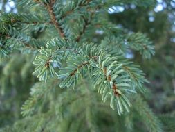 branch pine tree close-up