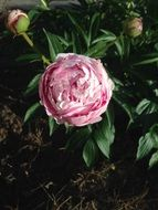 extraordinarily beautiful peony pink flower