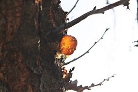 Golden resin on a tree trunk