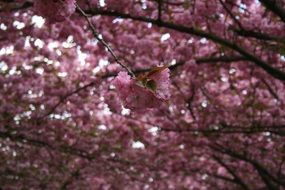 ornamental pink cherry japanese flowering