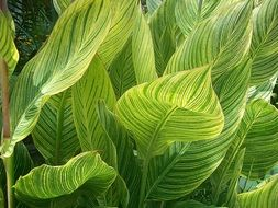 green bright variegated canna leaves