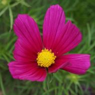 red flower, cosmos