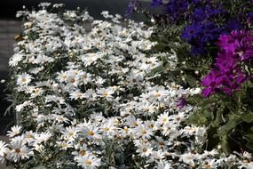 A lot of the white daisies