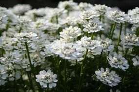 blooming Iberis, white flowers