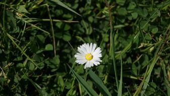 lonely white daisy in the grass