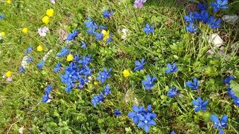 Beautiful gentian mountain flowers