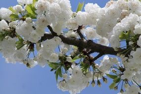 Beautiful white blossoming cherry flowers in spring