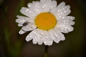 water drops on a white daisy closeup