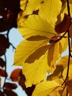 leaves of European beech in autumn close-up