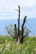 old dry tree in the meadow
