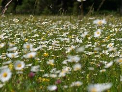 flower meadow of daisies