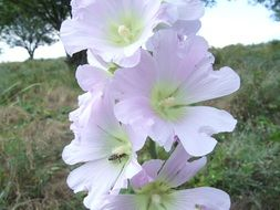 pink mallow flowers in the meadow