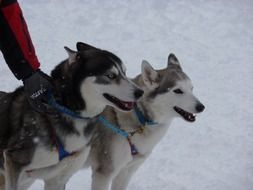 beautiful sled dog race