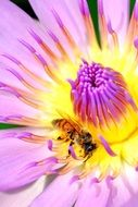 insect on a colorful lotus closeup