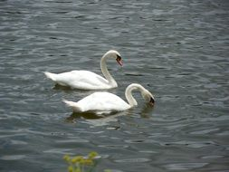 couple of the wild swans