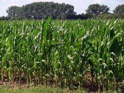 young shoots of corn field