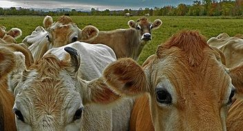 Cattle herd on a pasture