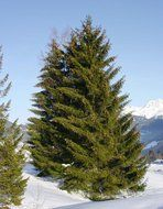 coniferous trees on a hill in the snow