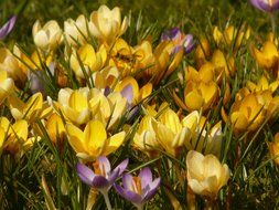 colorful flowering crocus