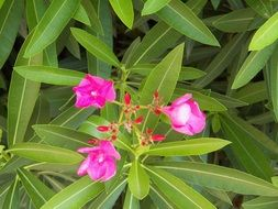 pink oleander flowers with green leaves