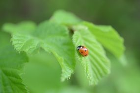 Ladybird on green leaf