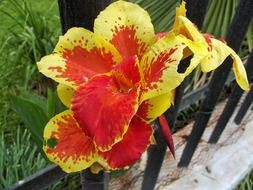 red-yellow canna flower in the garden