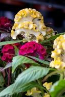 colorful celosia flowers in a garden