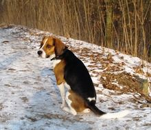beagle dog sitting on snow
