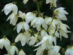 white yucca flowers on a dark background