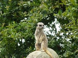 meerkat sitting on a stone in the wild