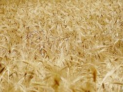 yellow wheat crops
