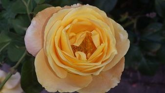 yellow rose summer blossom