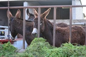 donkeys behind a metal fence