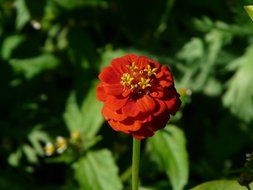 zinnia flower in nature
