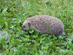 hedgehog goes on green grass