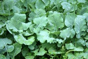 kale green leaves in the garden