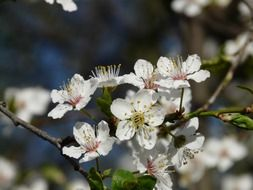 blooming wild plum closeup