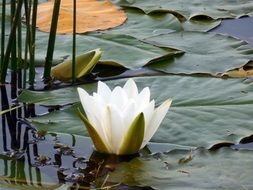 white water lily among the huge leaves in pond