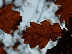 dark brown oak leaves