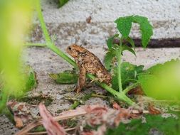 brown toad in nature