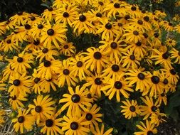 yellow echinacea on flowerbed
