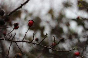 red berries of the autumn rosehip