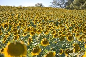 charming sunflower field