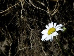 lonely daisy flower in the meadow